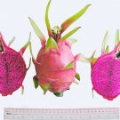 "(5) SWEET PURPLE FLESH DRAGON FRUIT,PITAHAYA CUTTING 11''-13""(not yet rooted)."