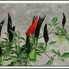 (50 ) Hot Black Cobra Peppers,Chili seeds .Rare seeds .
