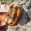 Ductina & Cephalopods, Devonian Trilobite Molt, China