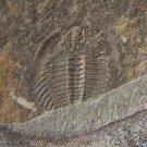 Changaspis elongate Trilobite, Cambrian, China