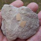 Palaleodus bird eggshell sections, Oligocene, France