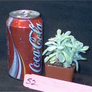 Succulent Cactus S2 Succulent two plants Echiveria?