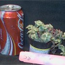 Cactus Succulent S8 #2 Crassula marginalis rubra variegata Calico Kitten