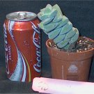 Cactus Succulent S10 crassula moonglow fat pudgy thing