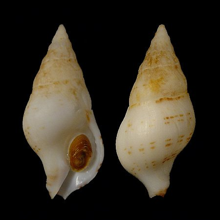 Euthria calypso Cosel & Burnay, 1983 [8500]
