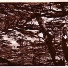 Cedars of Lebanon c. 1930