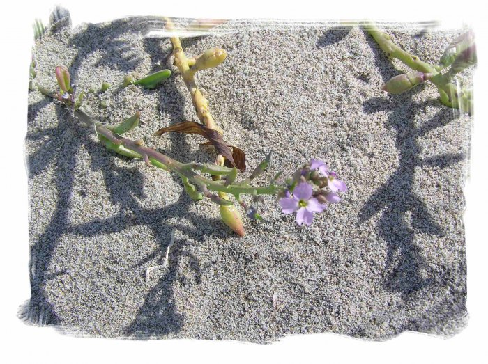 Purple Beach Flowers