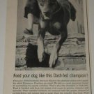 Doberman Pinscher Dog Champion Ad~Ernharkenburg Stormso