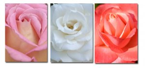 Trio of rose photographs