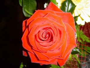 Original digital beautiful picture photo of Rose