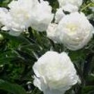 Peony Herbal Extract