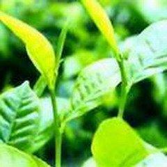 Artichoke Leaf PowderExtract