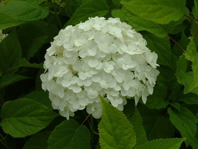 Hydrangea Herbal Extracts