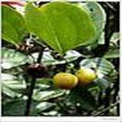 Sarsaparilla /Herbal Extract