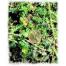 Tribulis terrestris Extract-Tribulis terrestris-Saponin 40%,60% UV