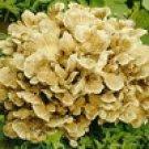 Maitake Mushroom Extract-Grifola Frondosa