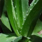 Aloe Vera Extract/Aloe barbade/Extract Ratio:50:1