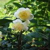 Green tea Extract-Camellia sinensis-Polyphenols 90% UV