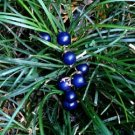 ophiopogonis Extract-