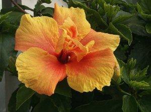 Hibiscus Extract/Hibiscus sabdariffa/Extract Ratio:5:1