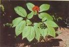 Ginseng Extract Powder  Panax ginseng CA Mey. P.E.