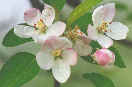 Pyrus Malus P.E. Apple Extract