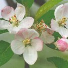Pyrus Malus P.E. Apple Extract
