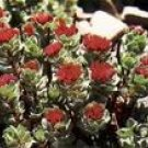 Rhodiola Rosea Extract Powder Salidrosides