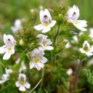 Eyebright P.E.Euphrasia officinalis P.E.Extract Ratio:5:1