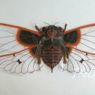 "Exquisite 62"" Giant Snowy Cicada Kite Art Deco Gift"