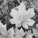 Ansel Adams Black and White Photo 8X10 Leaves Glacier National Park Montana