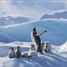 Emperor Penguin Parent Chicks on Small Ice Mound 12X18 Photograph