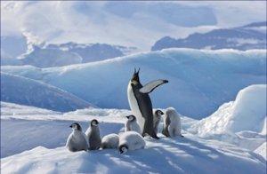 Emperor Penguin Parent Chicks 20X30 Poster Art Print