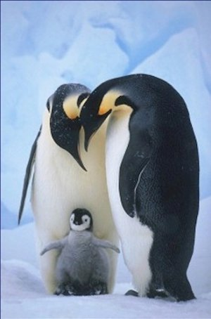 Emperor Penguins and Chick 20X30 Poster Art Print