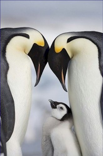 Emperor Penguins and Chick in Antarctica 12X18 Photograph