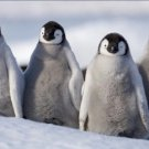 Emperor Penguins Teenagers Antarctica 12X18 Photograph