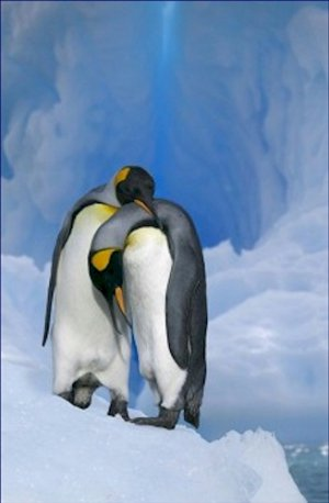 King Penguins Courting 20X30 Poster Art Print