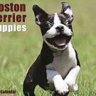 Boston Terrier Puppies 2012 Calendar by Willow Creek Press (2011, Calendar)