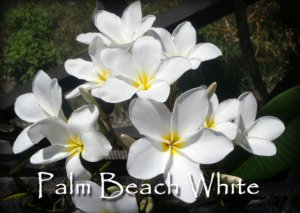 Rare & Exotic! Fragrant *Palm Beach White* Plumeria frangipani Cutting