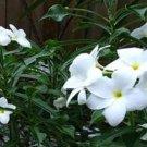 SALE Evergreen! 4 Pudica (Bridal Bouquet) Plumeria cuttings