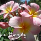 "Rare Exotic Fragrant *Maui Beauty* rooted seedling Plumeria Live Plant 14""+"