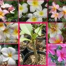 Rare & Exotic! Fragrant YOUR CHOICE of any 3  Plumeria Frangipani *Live Plant*