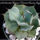 Agave hybrid Confederate Rose/Desert Rose Agave