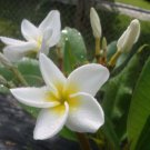 SALE Rare & Exotic thai SIAM WHITE** aka Kao Puang Plumeria + BONUS cuttings