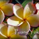 Rare & Exotic! **Puang Yok** Thai Plumeria frangipani + BONUS cuttings