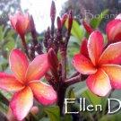 """Rare & Exotic!  """"Ellen D."""" Plumeria frangipani + Bonus cuttings"""