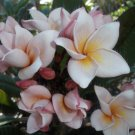 Very Rare & Exotic Fragrant Thai *Salmon Pink* Plumeria frangipani cutting