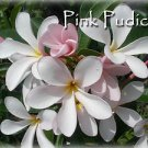 SALE Rare Exotic Fragrant semi dwarf evergreen Pink Pudica Plumeria cutting