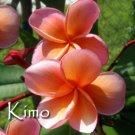 SALE PSA#118 KIMO + Free BONUS Plumeria Frangipani Hawaiian Cuttings