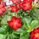 """Rare & Exotic ~RED~ Adenium Obesum Desert Rose Live Plant 4"""" pot Natural Bonsai"""